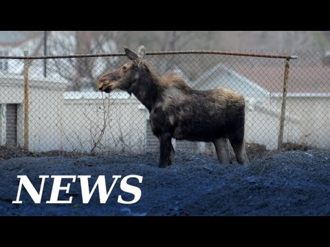 Moose on the loose in Sudbury