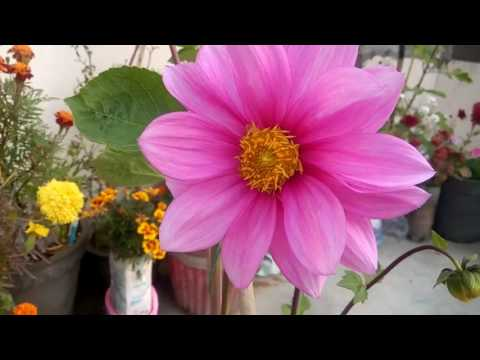 252 how to care dahlia plant hindi urdu 19 1 17 youtube