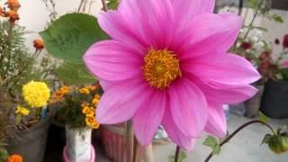 252 - How to care DAHLIA plant (Hindi /Urdu) 19/1/17