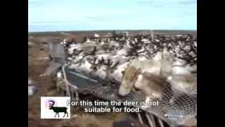 Рога Северного Оленя  Продаём 8(985)315-10-10