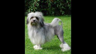 pequeño perro leon Löwchen