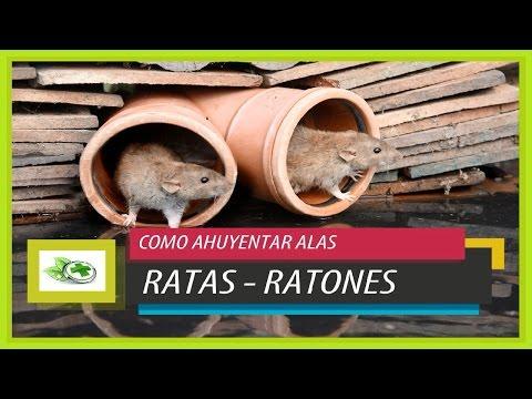 Remedios caseros para Ahuyentar Ratas y ratones