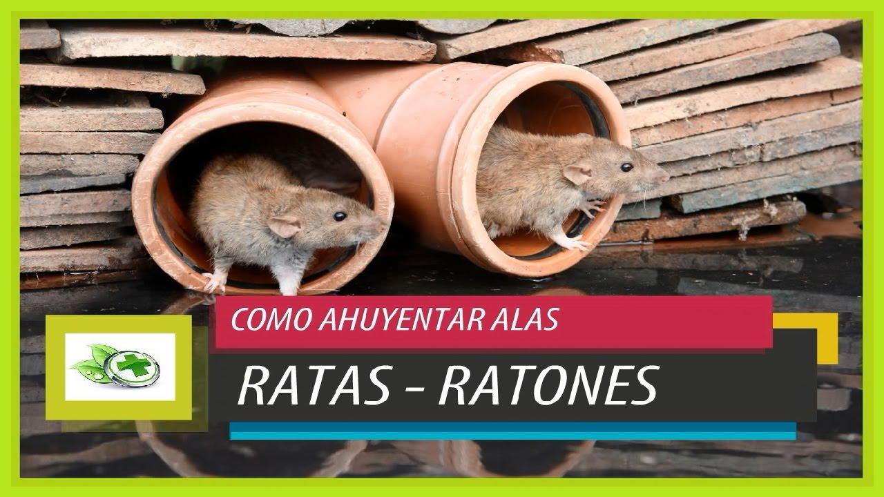 Remedios caseros para ahuyentar ratas y ratones youtube - Trampas para ratones y ratas ...
