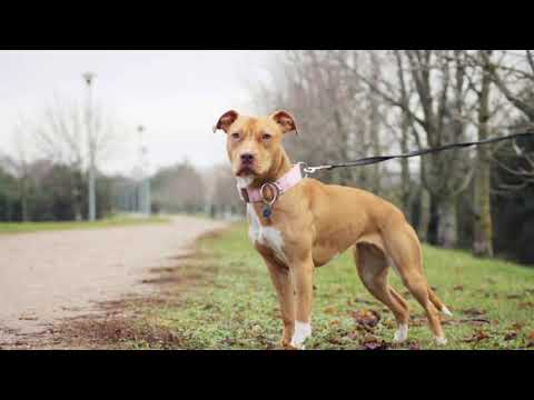 How to know if you have a Real American Pit bull Terrier?