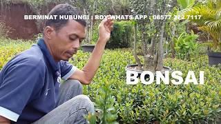 [1.11 MB] Bonsai Yasmin Batang Delastri