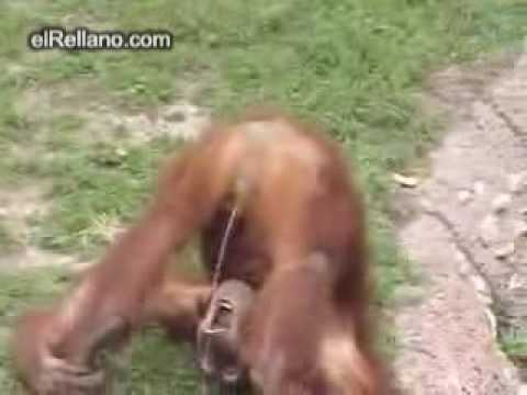 Monkey peeing in mouth