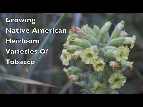 Growing Native American Heirloom Varieties Of Tobacco.