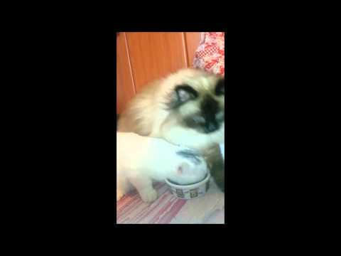 My Funny Cats Sacred Birman Persianmix Cat