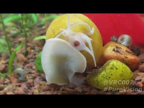 Golden Apple Snail ( Pomacea bridgesii ) : A Closer look !!