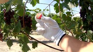 Супер сорт винограду, ультра раннього терміну дозрівання, ПАМ'ЯТІ ВЧИТЕЛЯ / Виноградник АРТУРА