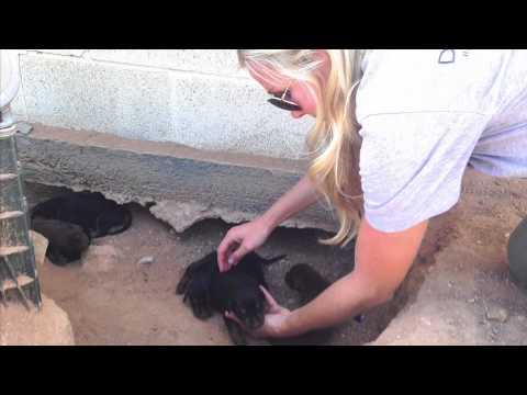 DHDR Newborn Doberman Puppy Rescue