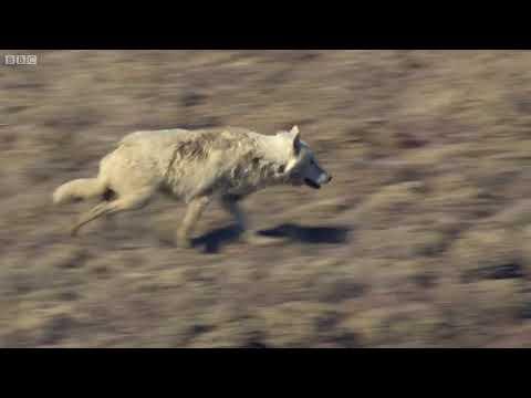 Kurt Sürüsü Tavşan Peşinde - Belgesel Türkçe Altyazılı HD