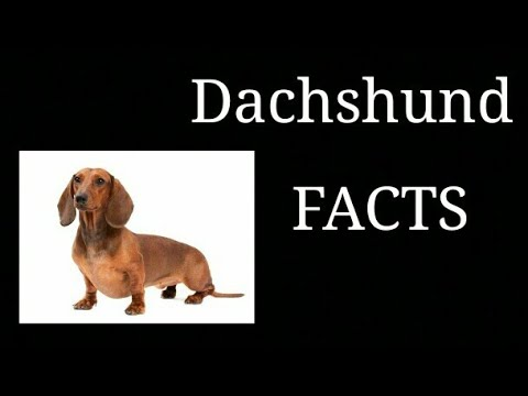 Dachshund Facts || In Hindi || Animals are awesome