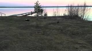 Тетеревиный ток на озере Кадам