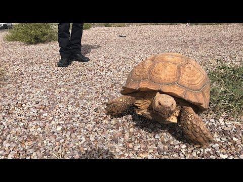VÍDEO | La Policía Local de Ciudad Real halla una tortuga gigante africana en una rotonda