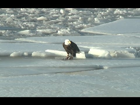Bald Eagles on the icy Mississippi River at Alton, Illinois - January 12