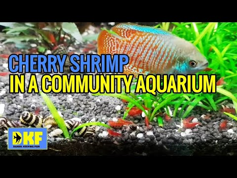 Cherry Shrimp In A Community Tank - How To Make It Successful.