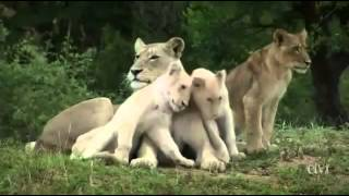 Wild White Lions of South Africa PBS Nature Animals Documentary sa prevodom online video cutter com