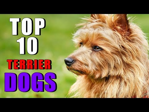 TOP 10 TERRIER DOG BREEDS OWNING A DOG