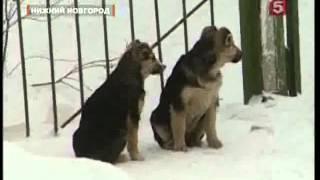 Бездомных собак отстреливали прямо на глазах малышей из детского сада(Очередной раунд противостояния людей и бездомных собак окончился безоговорочным поражением двуногих...., 2013-08-19T18:56:16.000Z)