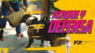 Cómo ENTRENAR a un perro de PROTECCIÓN y GUARDIA   Professional Dog Training
