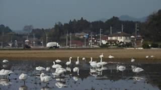 1月19日に白鳥さんを見て来ました。