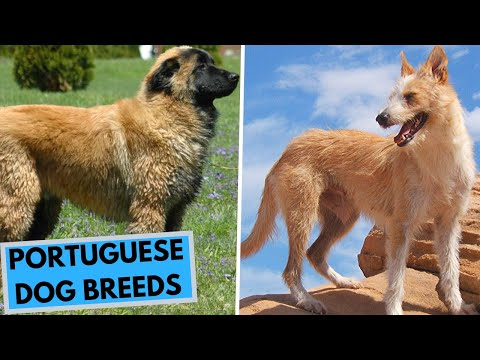 TOP 10 Portuguese Dog Breeds List