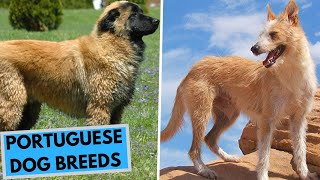 TOP 10 Portuguese Dog Breeds List