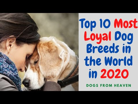 top-10-most-loyal-dog-breeds-in-the-world-in-2020