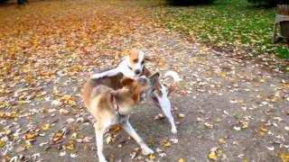 Beagle Tippy Plays With Greyhound Mix Angie