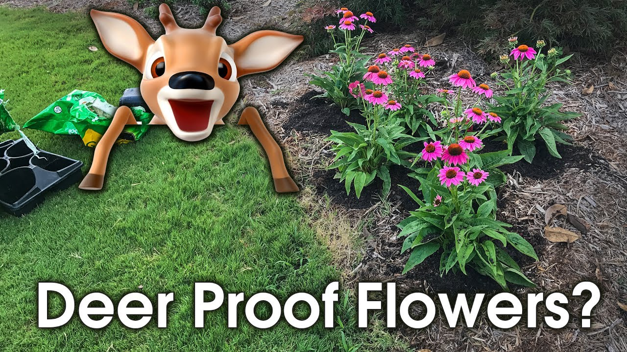 Flowers That Deer Wont Eat Are They Deer Proof Youtube