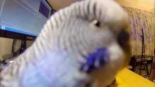 Happy Budgie, Chirping And Calling (GoPro Black HD)