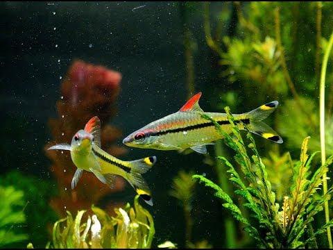 Denison Barbs, Torpedo Barbs, Roseline Sharks  -A Species Profile
