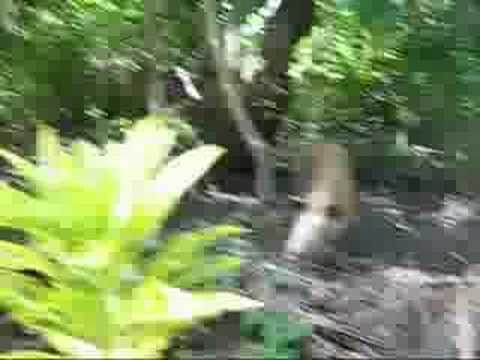 Micronesia: Yap jungle pig