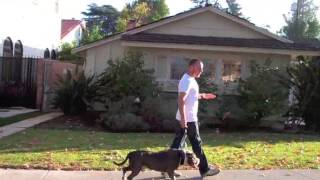 Learn To Train Tgd Way: Pitbull Mix Leash Pulling Resolved In One Dog Training Session