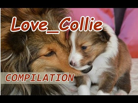 The COLLIE  dogs happy and joking. Compilation [see you] 2017 [HD] #petcarol #torodepalpite
