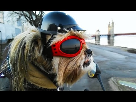 coole videos 375 hund auf motorrad biker dog stern. Black Bedroom Furniture Sets. Home Design Ideas