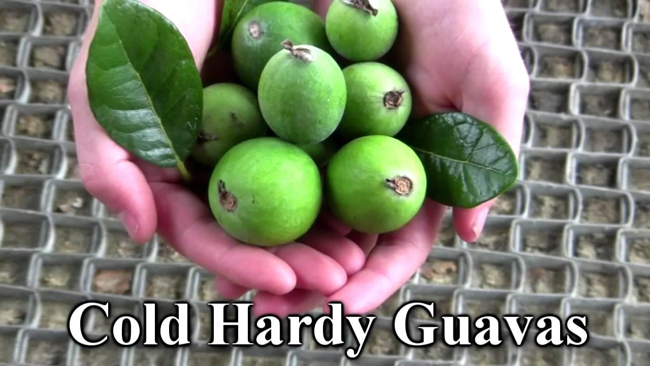 *plant Guava Tree* +eat Guava+1st Year @ Tx,fl & Ga+
