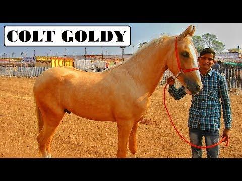 Unique GOLDEN COLT - GOLDY At CHETAK FESTIVAL Sarangkheda