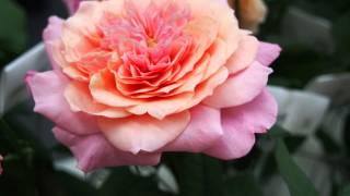 大阪駅・フラワーアートミュージアム2015 薔薇をミラーレス一眼で撮影し...