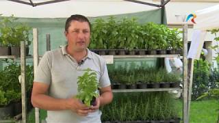 In gradina Danei - Totul despre Stevia Rebaudiana si plantele aromatice