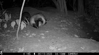 Berkshire badger cub scent marks his Boar