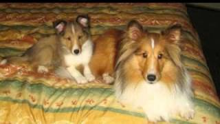 I love Shelties! :) 2 Thumbnail