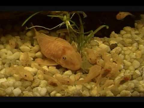 Reproduction Ancistrus Gold L144 DOLICHOPTERUS 10 mai 2010