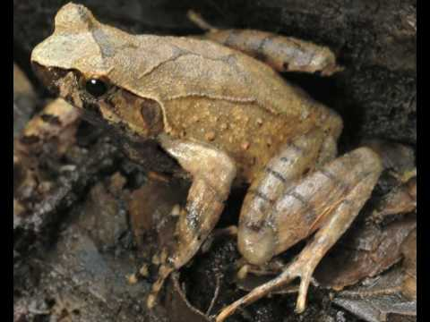 New frog species discovered in Cambodia - Jenny Daltry interview - BBC Radio Wales