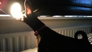 Miniature Pinscher Puppy Afraid Of Lamp