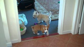 Cairn Terrier And Welsh Corgi Puppy Playing