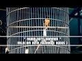Suara Burung Murai Batu Hammer Milik Om Rifai Menara Di Piala Kapolres Pekalongan Ngeplong(.mp3 .mp4) Mp3 - Mp4 Download