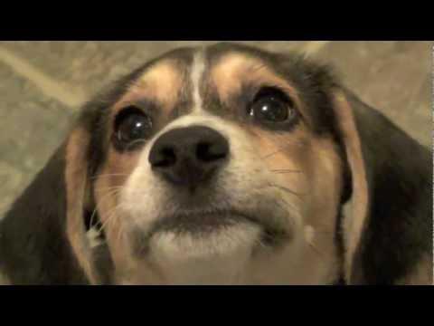cute beagle puppy playing