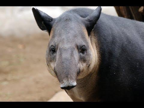 Tapir, el Elefante de América